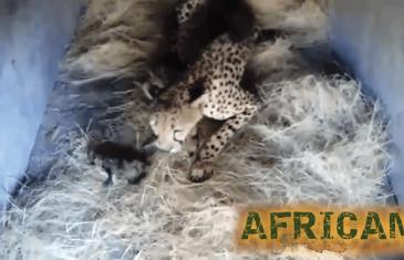 Africam: King Cheetah Gives Birth