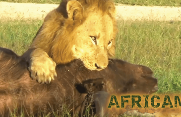 Africam : Four Male Lions Kill and Eat One African Buffalo